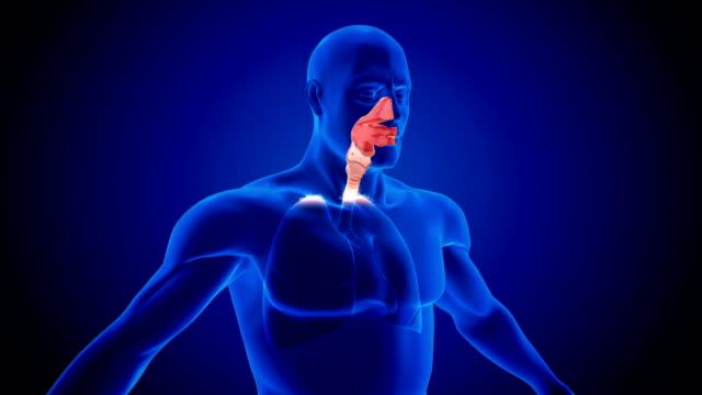 human lung respiratory system scan - tułów filmów i materiałów b-roll