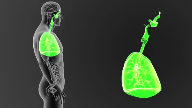 human lungs zoom with organs - torace animale video stock e b–roll