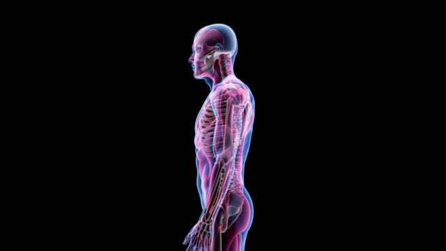 human male anatomy 3d animation biology science technology - bio tech stock videos and b-roll footage