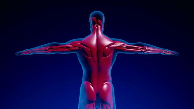 人間の筋肉 - 単発 (アルファ チャネル) - 4 k - 人の筋肉点の映像素材/bロール