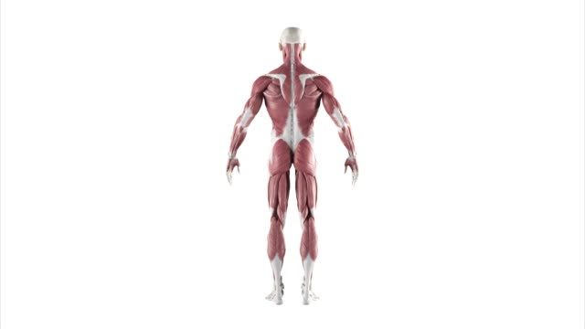 Human muscles turntable