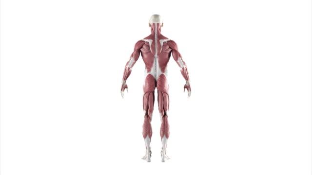人間の筋肉ターンテーブル - 人の筋肉点の映像素材/bロール