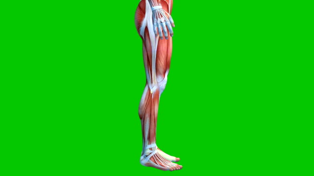 vídeos de stock e filmes b-roll de human muscular system on green background, male muscles model on green screen, 3d animation - anatomia
