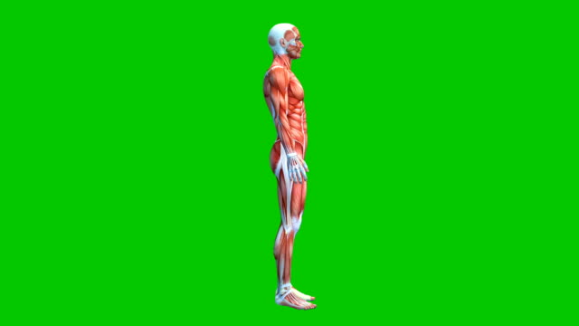 vídeos de stock e filmes b-roll de human muscular system on green screen, male muscle model isolated on green background, 3d animation - anatomia