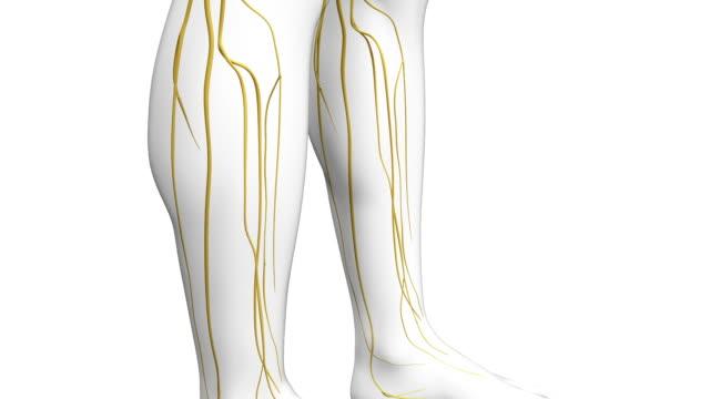 human nerve system video
