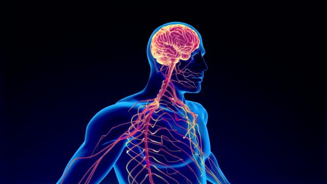 människans nerv system - kroppsdel bildbanksvideor och videomaterial från bakom kulisserna