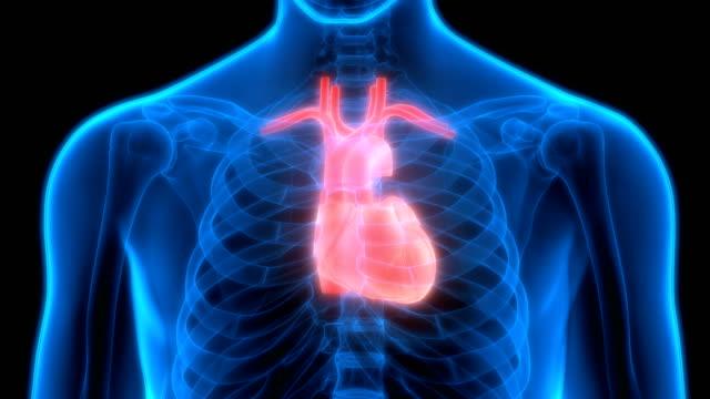 Human Organs Heart Anatomy 3D Illustration of Human Organs Heart Anatomy heart internal organ stock videos & royalty-free footage