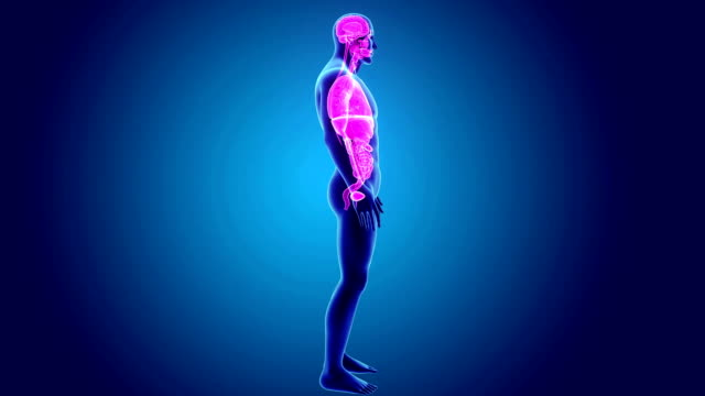 Human Organs with Body video