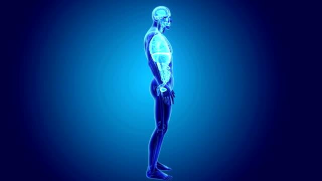Human Organs with Skeleton video