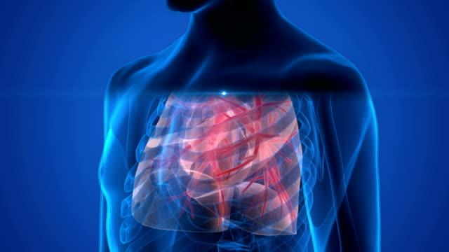mänskliga andningsorganen lungorna anatomi - djurkropp bildbanksvideor och videomaterial från bakom kulisserna