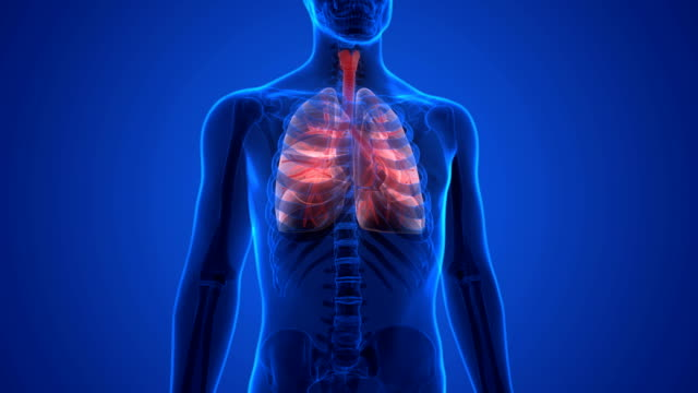 Human Respiratory System Lungs Anatomy 3D Illustration of Human Respiratory System Lungs Anatomy animal body stock videos & royalty-free footage