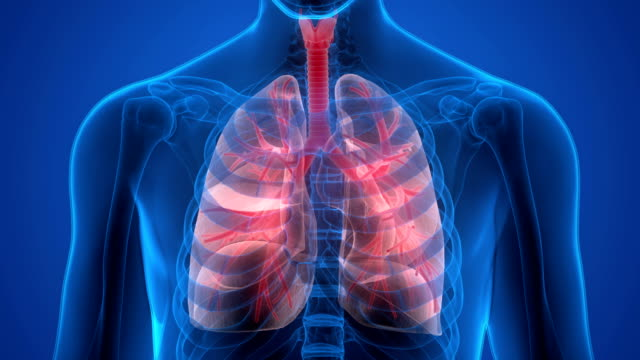 Human Respiratory System Lungs Anatomy 3D Illustration of Human Respiratory System Lungs Anatomy lung stock videos & royalty-free footage