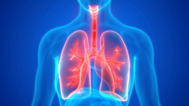 Human Respiratory System Lungs Anatomy Stock Video More Clips Of