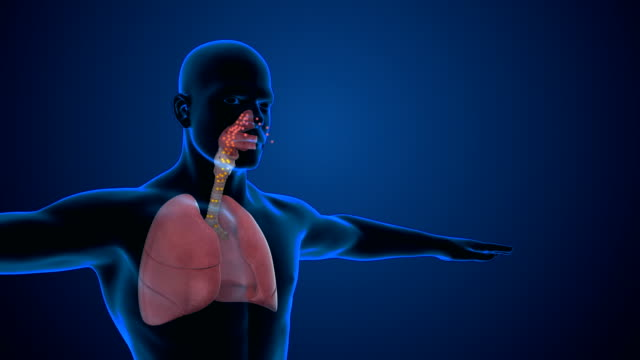 Human Respiratory System Lungs Human Respiratory System showing breathing process lung stock videos & royalty-free footage