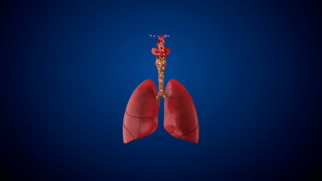 Human Respiratory System Lungs