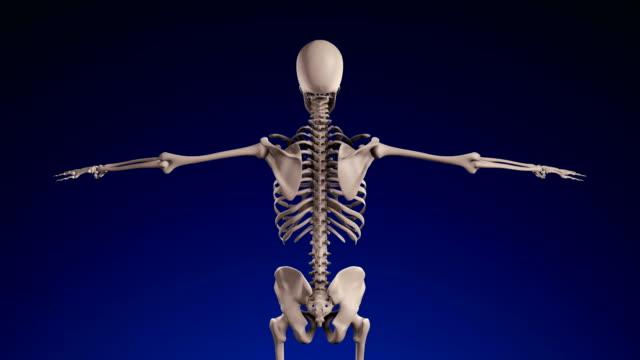 i̇nsan iskeleti - loopable (alfa kanalı) - 4k - i̇nsan i̇skeleti stok videoları ve detay görüntü çekimi