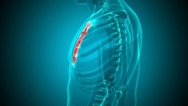 humant skelett bröstbenet ben anatomi loopable 3d illustration - lem kroppsdel bildbanksvideor och videomaterial från bakom kulisserna