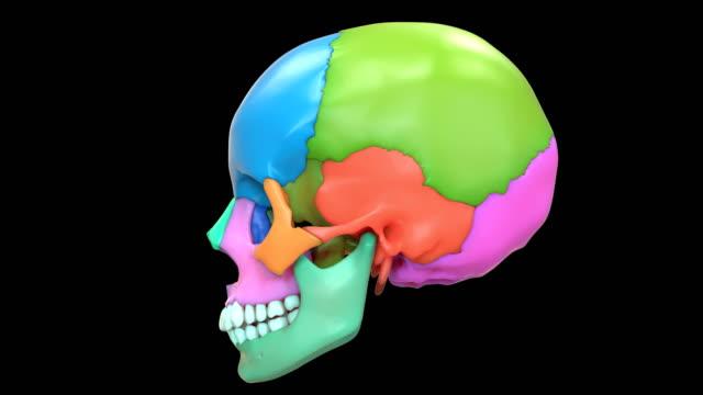 människans skelett system ben delar anatomi - lem kroppsdel bildbanksvideor och videomaterial från bakom kulisserna