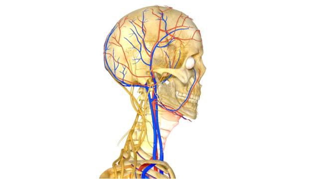 vídeos de stock e filmes b-roll de crânio humano e sistema nervoso - ventrículo do coração