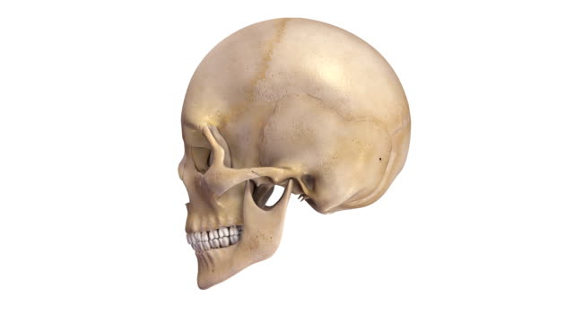 Human Skull The skull is a bony structure that forms the head of the skeleton in most vertebrates. It supports the structures of the face and provides a protective cavity for the brain. The skull is composed of two parts: the cranium and the mandible. skull stock videos & royalty-free footage