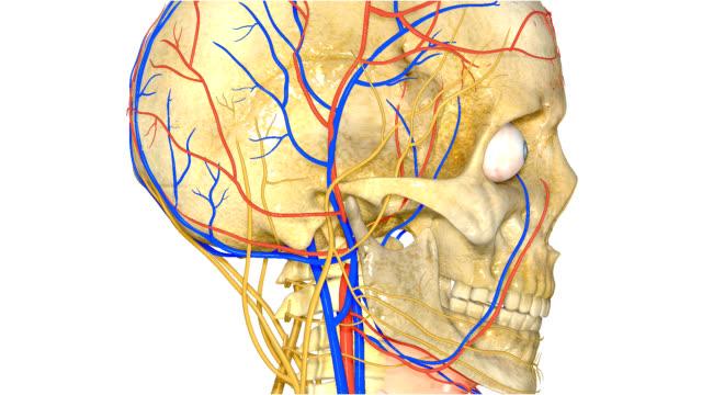 vídeos de stock e filmes b-roll de crânio humano com o sistema nervoso - ventrículo do coração