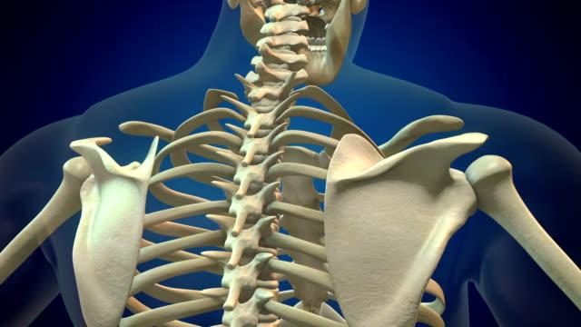 mänsklig ryggrad - axel led bildbanksvideor och videomaterial från bakom kulisserna