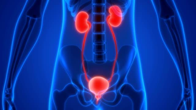 vídeos de stock, filmes e b-roll de sistema urinário humano rins com a bexiga anatomia - rim órgão interno