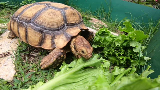 Human's hand feeding lettuce to Sulcata Tortoise in green grass garden at farm. Close up of Tortoise eating
