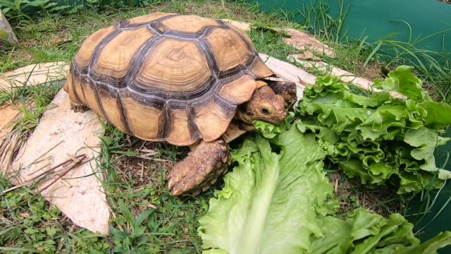 Human's hand touching Sulcata Tortoise while eating lettuce in green grass garden at farm. Close up of Tortoise eating
