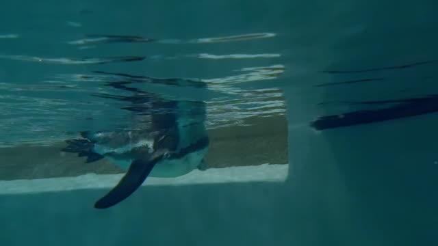 Humboldt penguin underwater video
