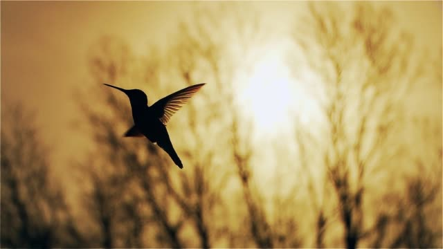 Humming bird Silhouette At Sunset.