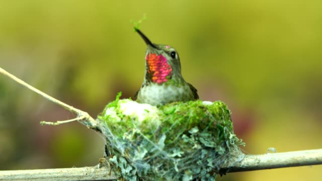 Hummingbird arrives and inserts moss to the exterior of her nest video