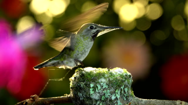 Hummingbird arrives with full bunch of spider silk to reinforce her nest video