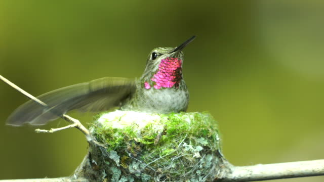 Hummingbird being alert in nest while other birds approach video