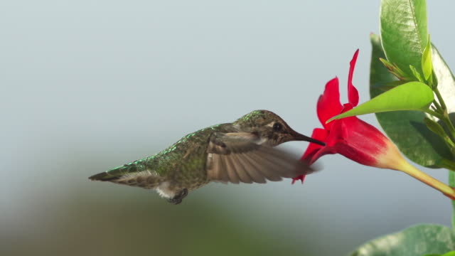 Hummingbird Drinking From Flower video