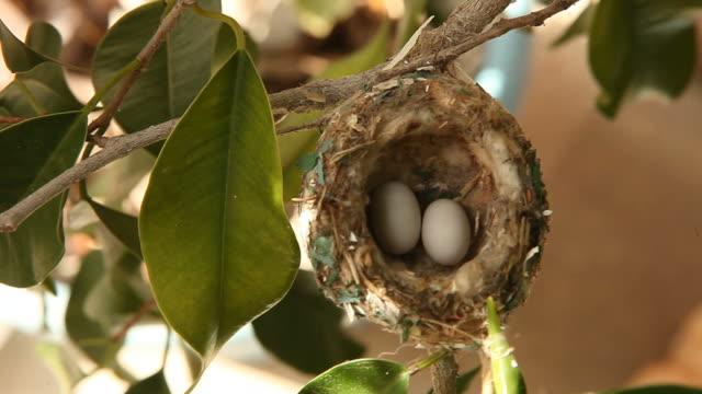 kolibri eier in einem nest mit ausblick - nest stock-videos und b-roll-filmmaterial