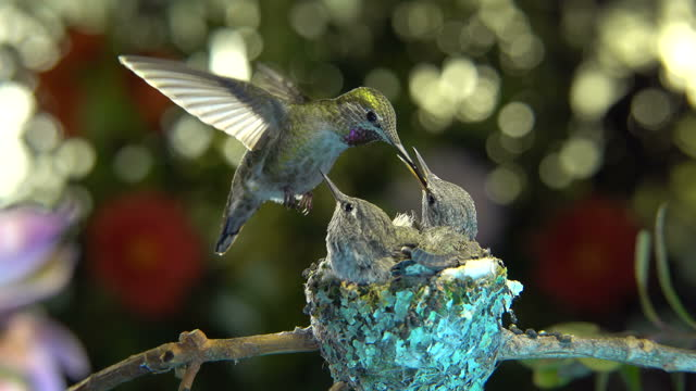 Hummingbird feeding baby while hovering video
