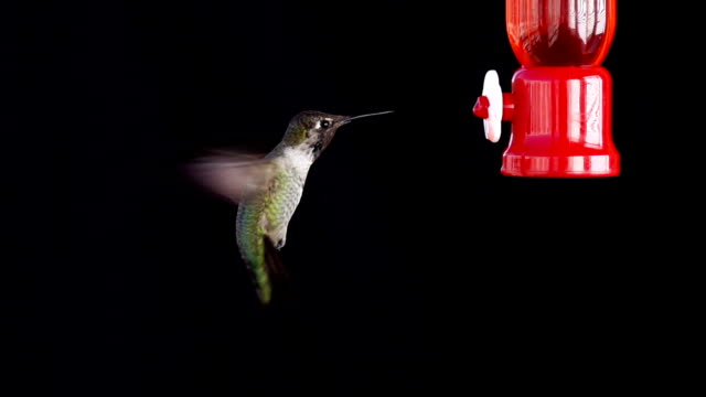 Hummingbird feeding in slow motion.