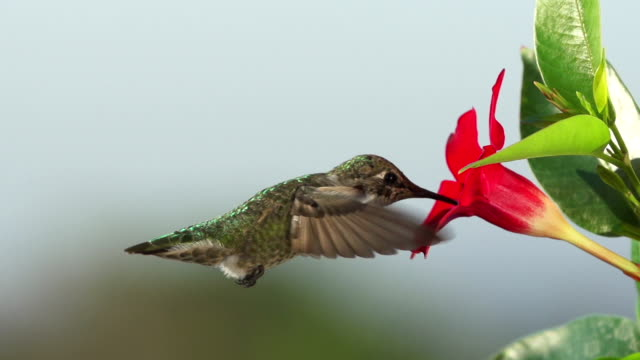 Hummingbird Feeding Slow Motion.
