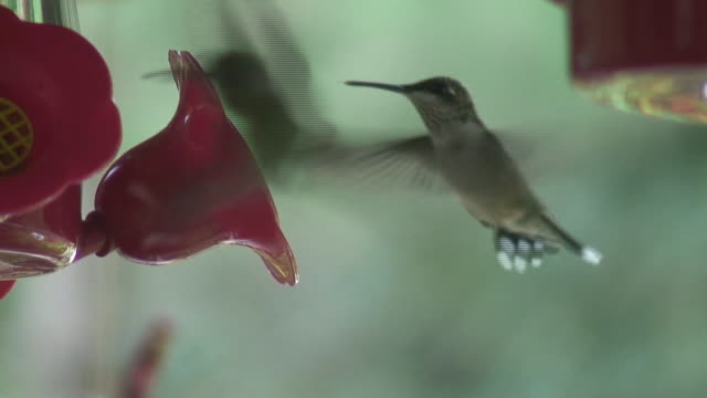 (HD1080i) Hummingbird Feeding video