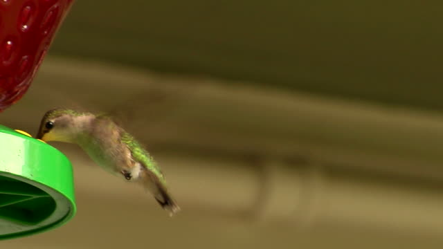 Hummingbird Feeding video