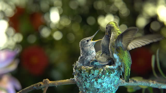 Hummingbird flapping wings while feeding baby video