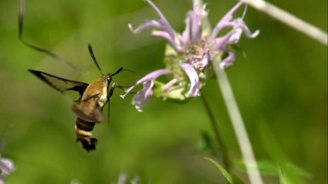 Hummingbird Hawk Moth Hovering and Feeding on Purple Flower in Slow Motion video
