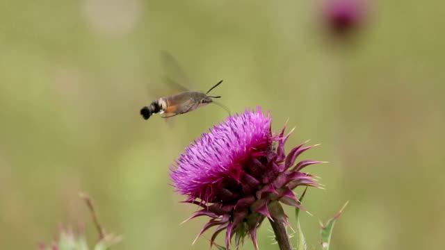 Hummingbird hawk-moth feeding on a flower, green field blurred background video