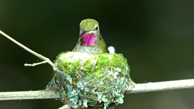 Hummingbird kicking nest bottom