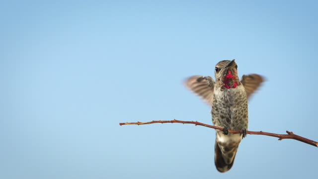 Hummingbird Slow Motion video