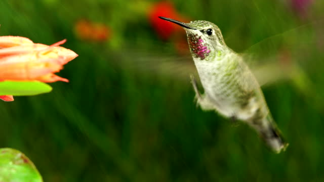 hummingbird stretching one foot while hovering video