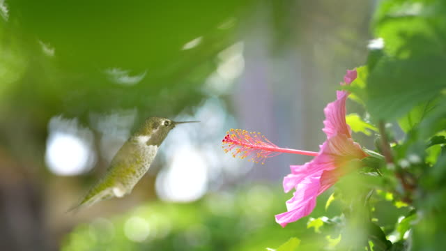 Hummingbird Take Turns On Pink Flower in 4K