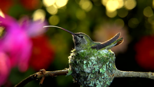 Hummingbird taking off from her nest at windy moment and visiting flower video
