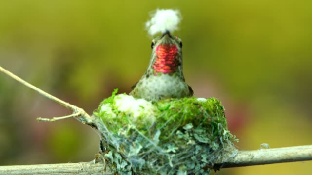Hummingbird using cotton for nest interior video